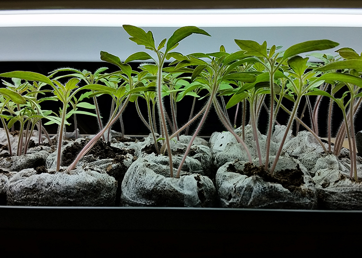 Two week old tomato plants | The Organic Heir