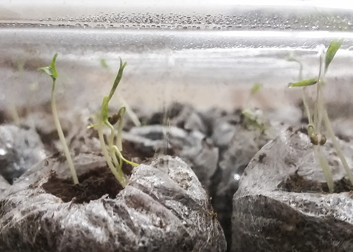 Six day old tomato seeds |The Organic Heir