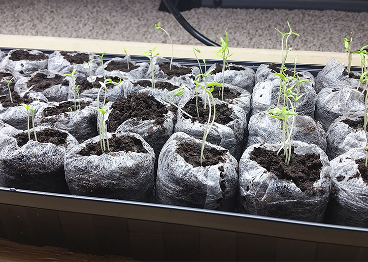 Eight day old tomato seedlings | The Organic Heir