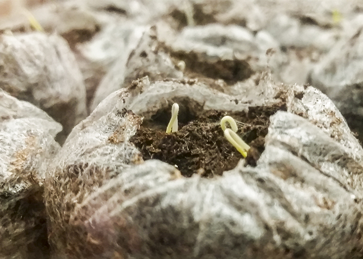 Five day old tomato seeds |The Organic Heir