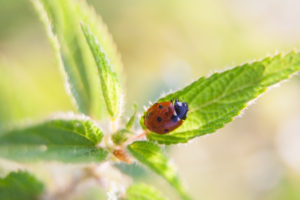 Springtime ladybug sitting on plant. Insect close up.
